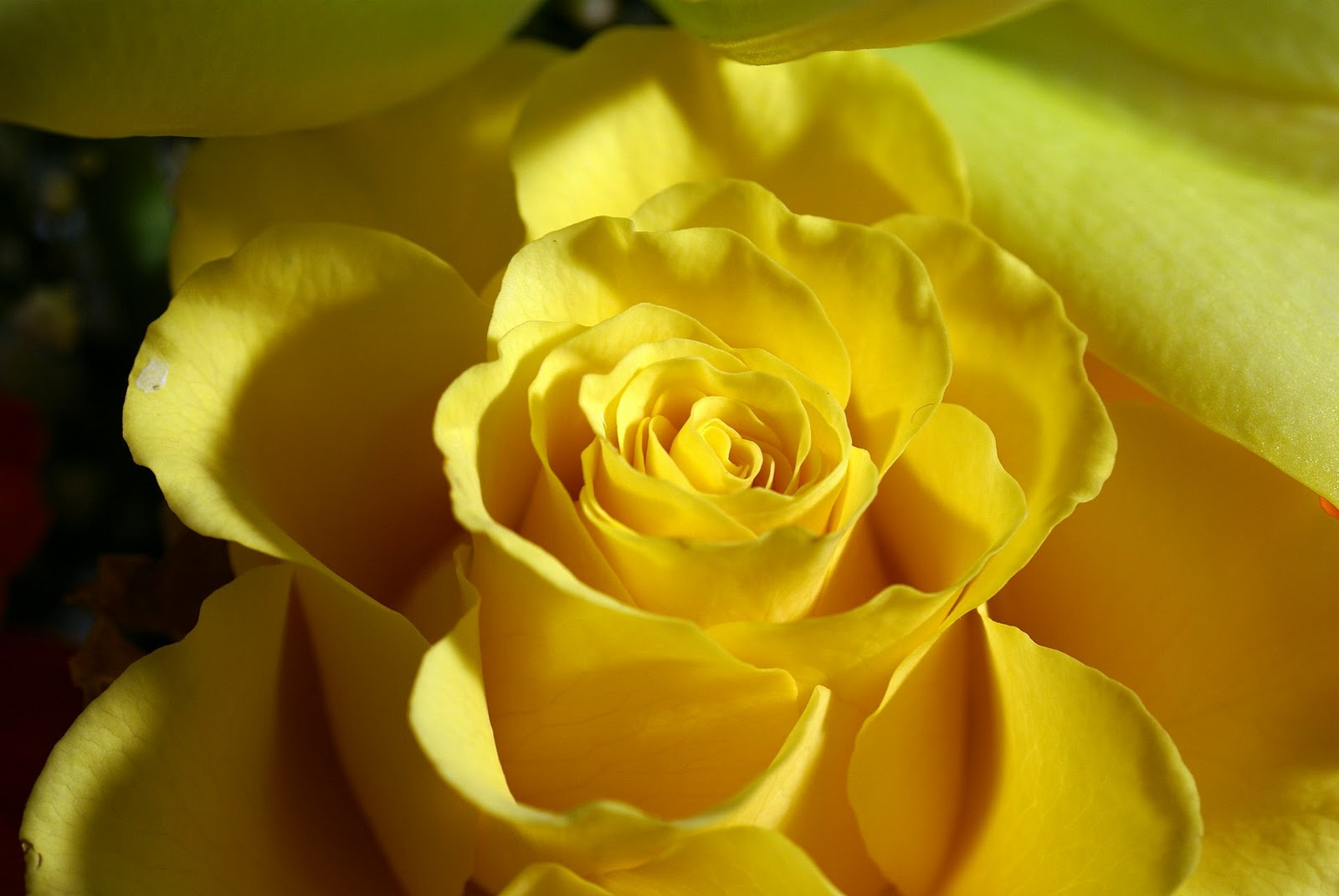 Images Of Beautiful Yellow Roses Rock Cafe