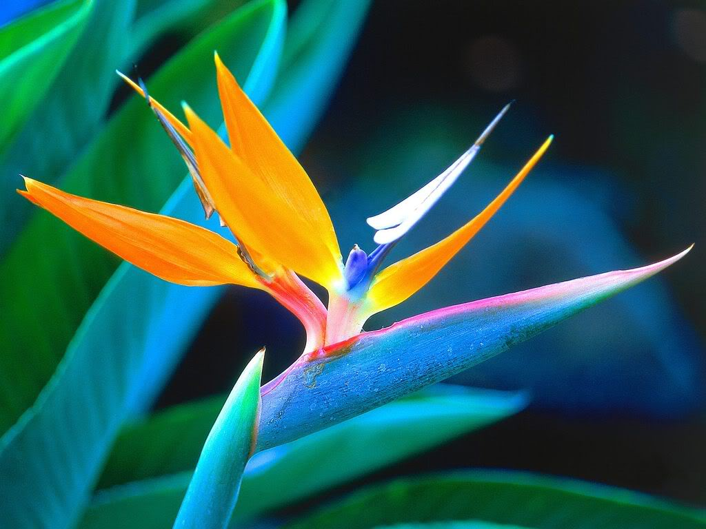Bird of Paradise Flower Pictures Meanings 1024x768