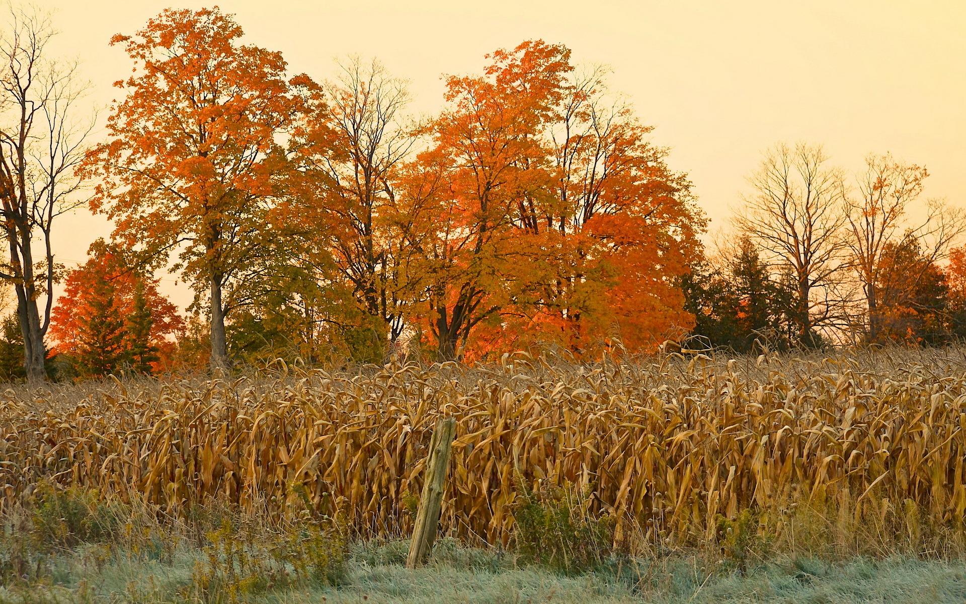 Corn Fields Field Autumn Nature Trees Thanksgiving Halloween 1920x1200