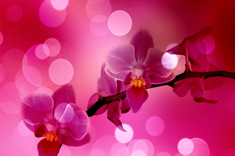 pink orchid wallpaper wallpapersafari