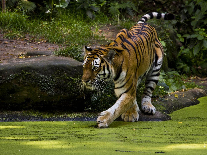 Free Tiger Wallpapers For Desktop - WallpaperSafari