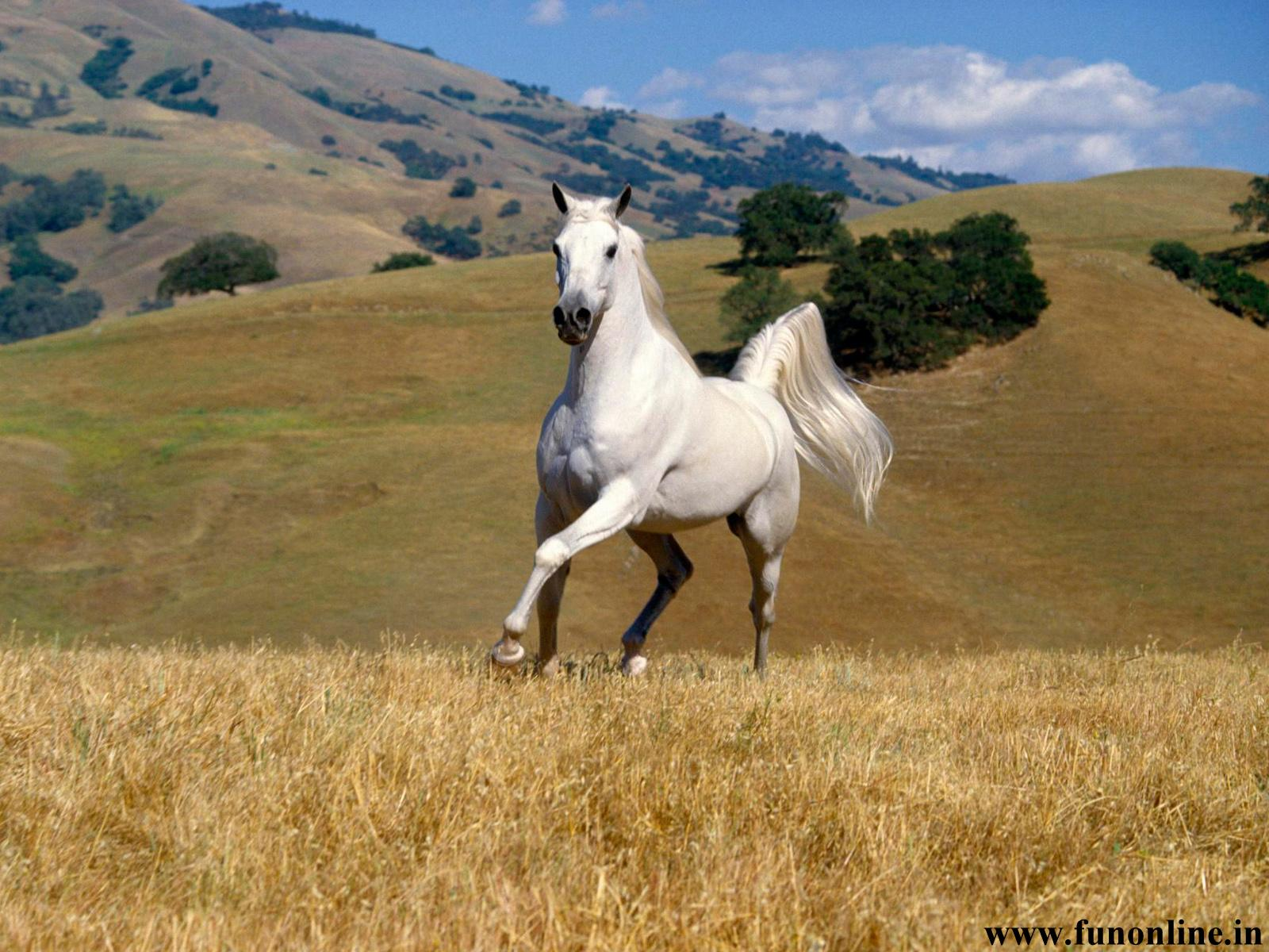 Horse Wallpapers Download White and Black Horse Wallpapers 1600x1200