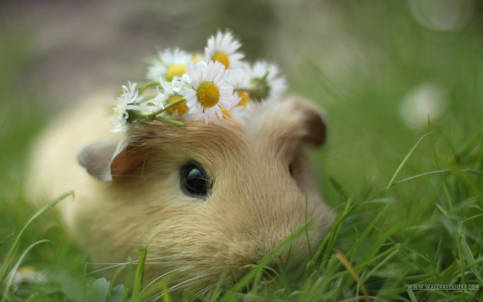 Cute Animal   Cavy Wallpaper More PC Wallpaper for Your Desktop 1680x1050