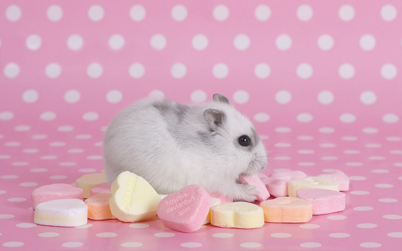 hamster lollipop pink HD Wallpaper wallpaper   7288   HQ Desktop 1440x900