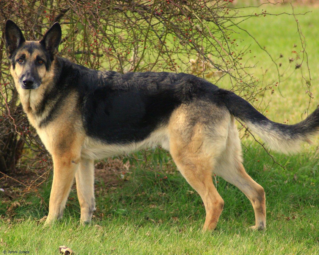 German Shepherd 1280x1024