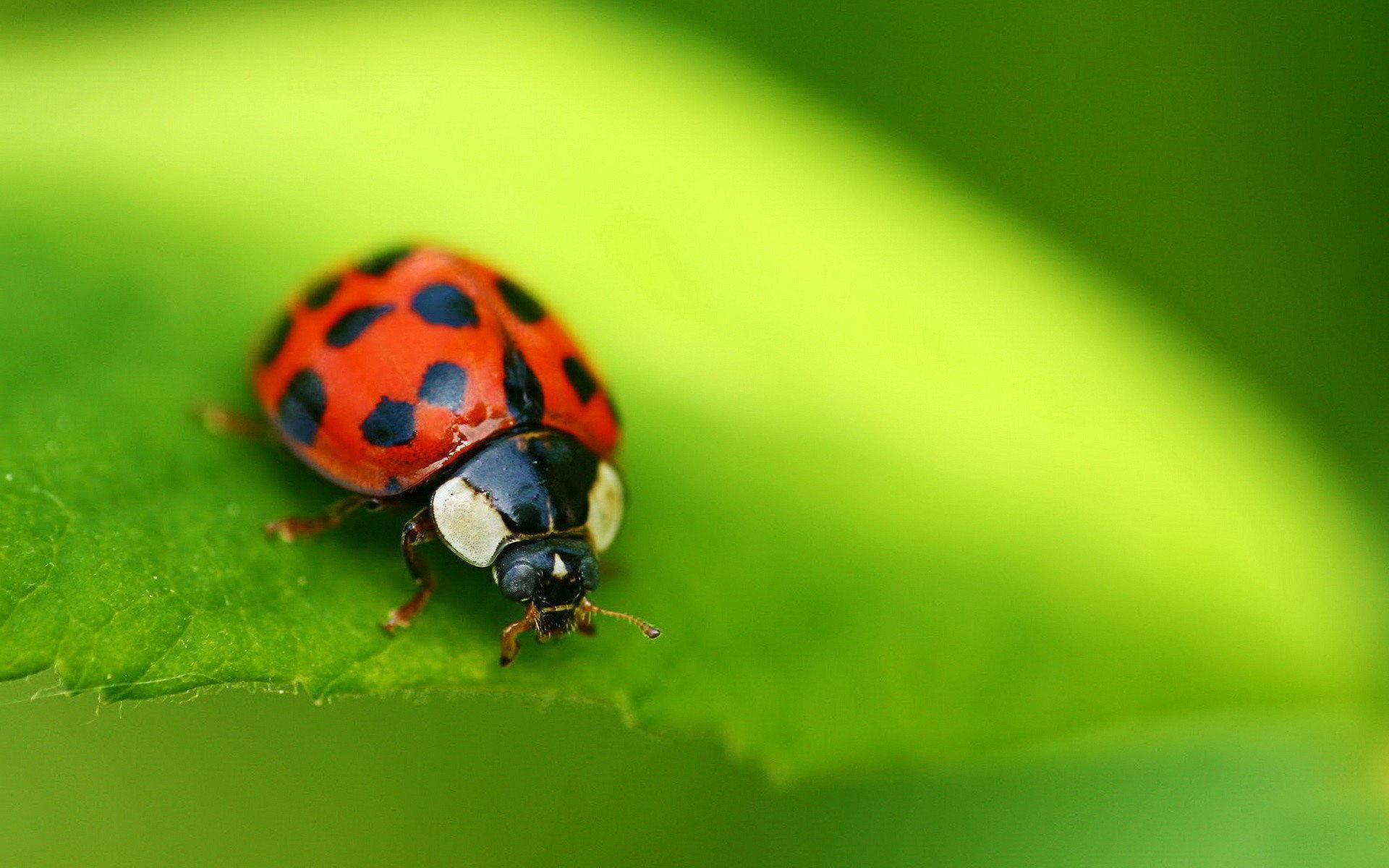 photography   Beautiful Ladybugs Macro Photography HD Wallpaper 1920x1200