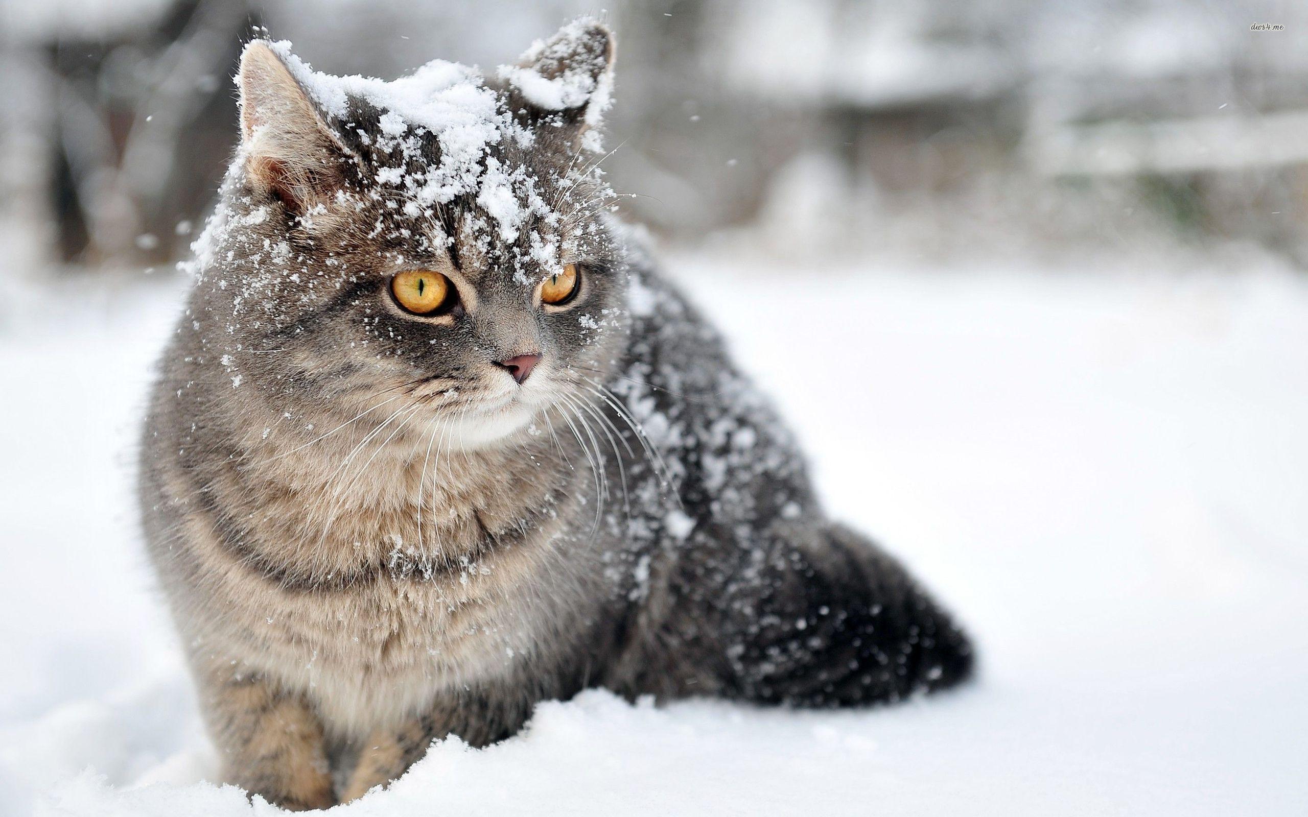 Зимний кот обои на рабочий стол
