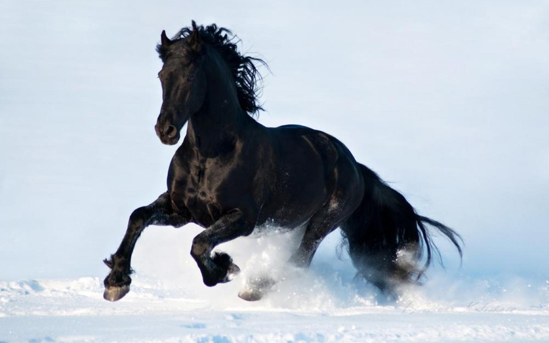 Black Horse Desktop Wallpapers 1920x1200