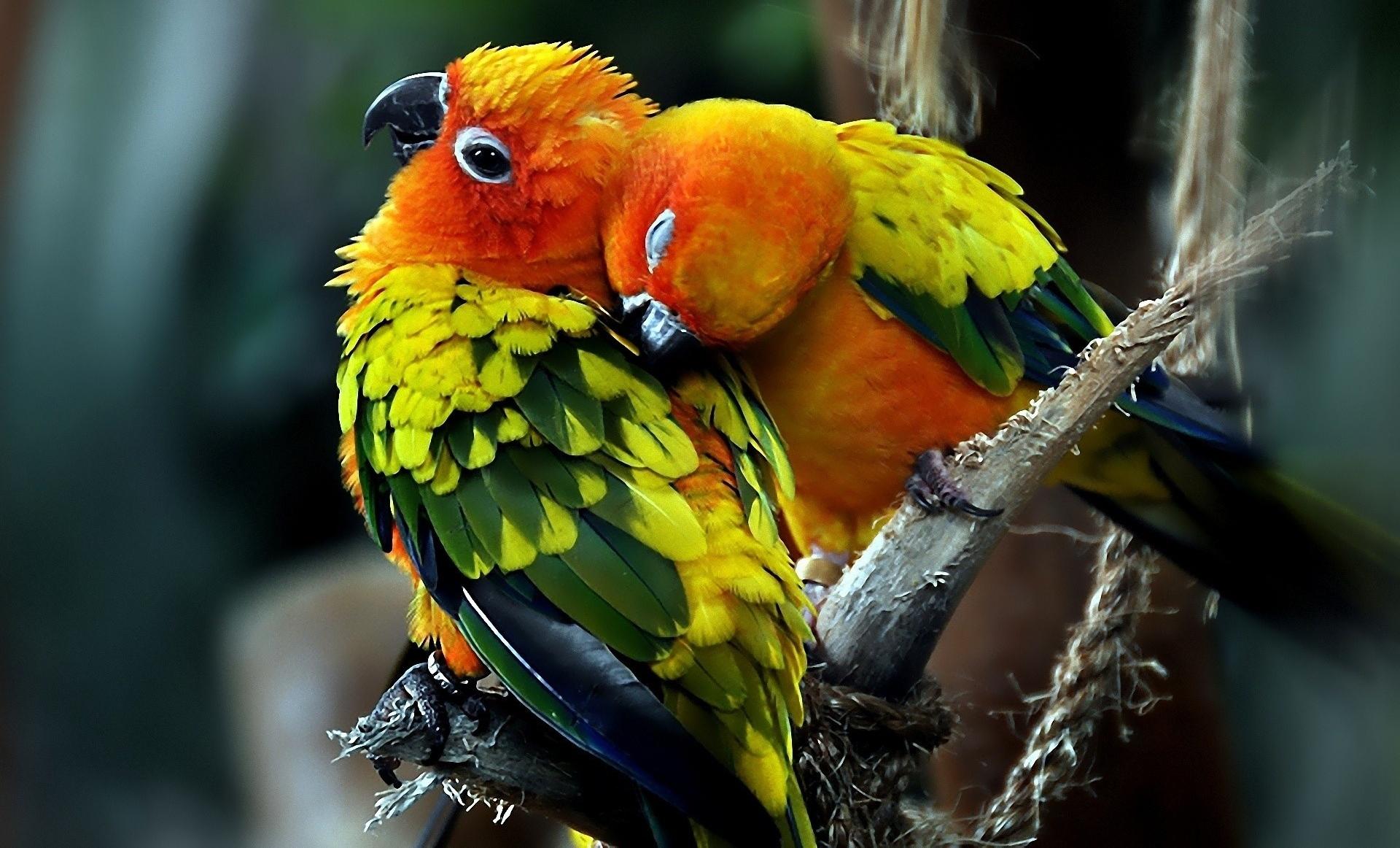 Beautiful Parrots birds HD Wallpaper 1920x1162