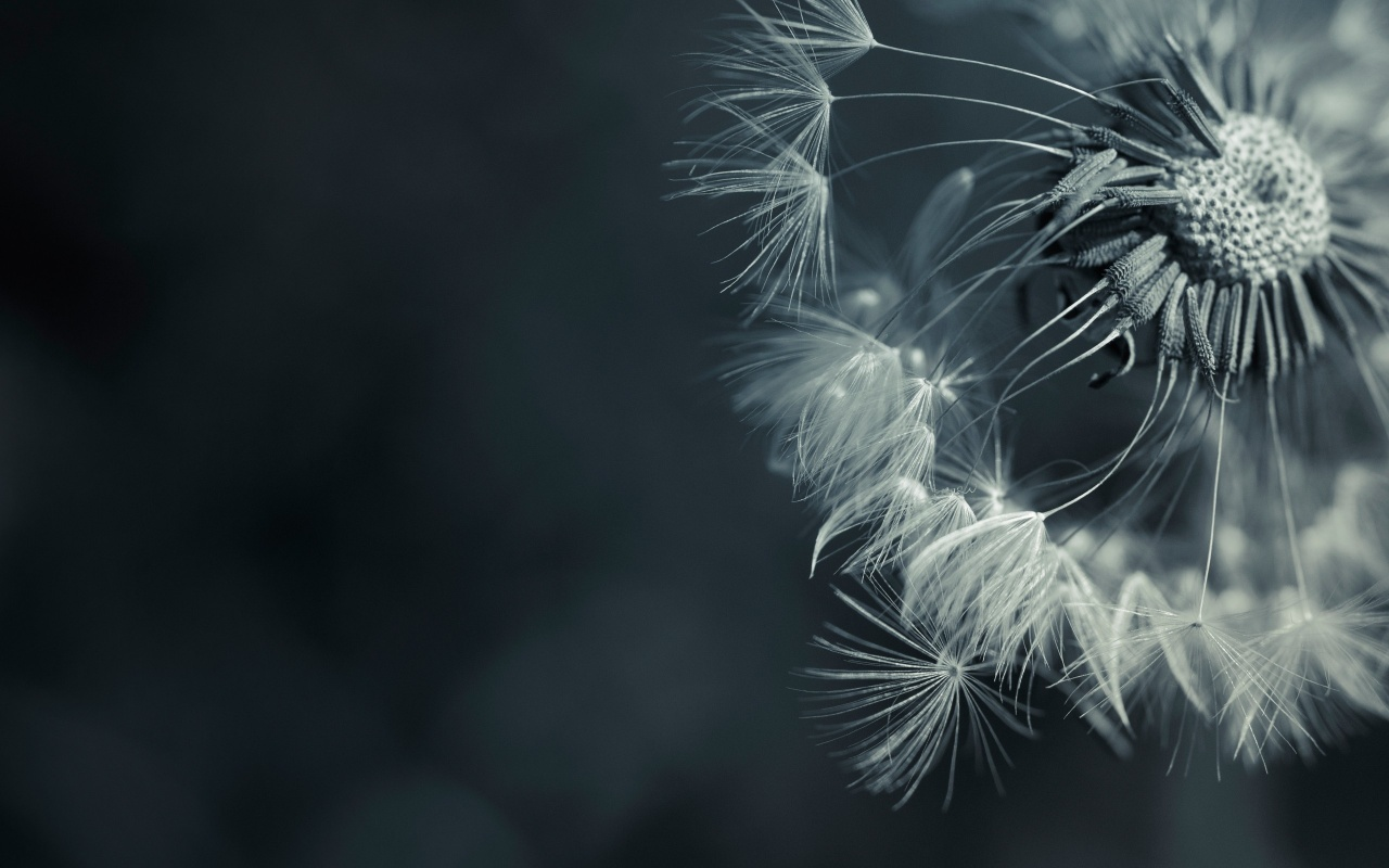 1280x800 Dandelions desktop PC and Mac wallpaper 1280x800