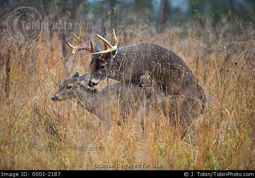 Buck Whitetail Deer Mounting A Doe In Estrus 525x366