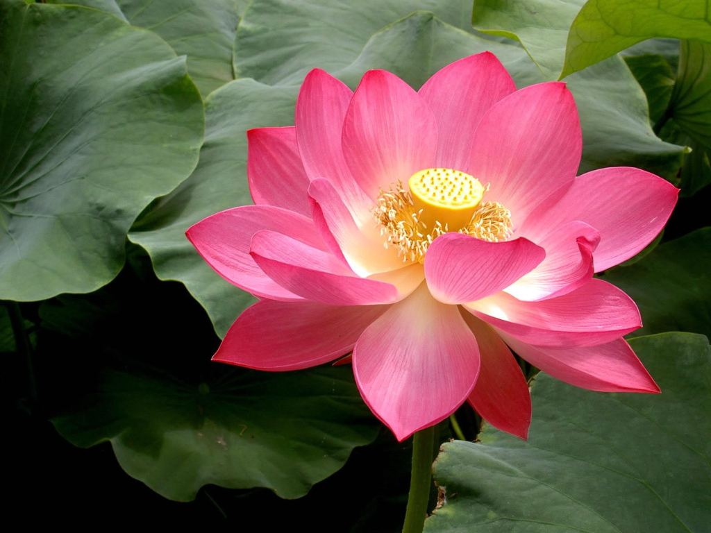 Pink Lotus Flowers   Flower HD Wallpapers Images PIctures Tattoos 1024x768