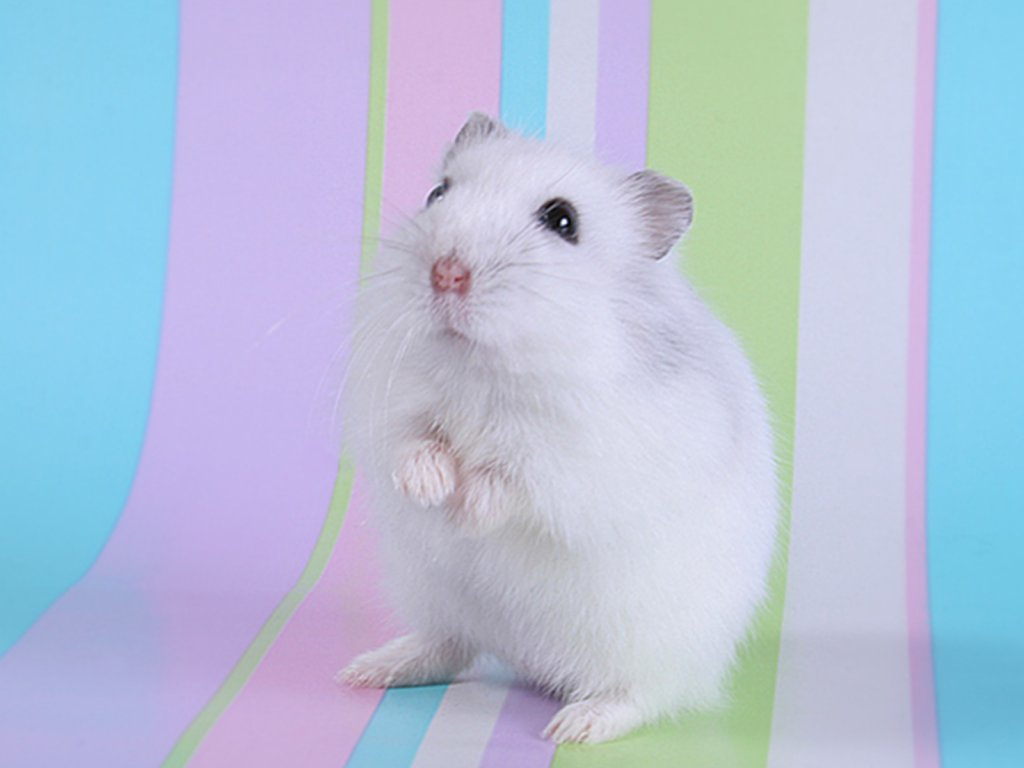 Cute Hamster 1024x768 Wallpapers 1024x768 Wallpapers Pictures 1024x768