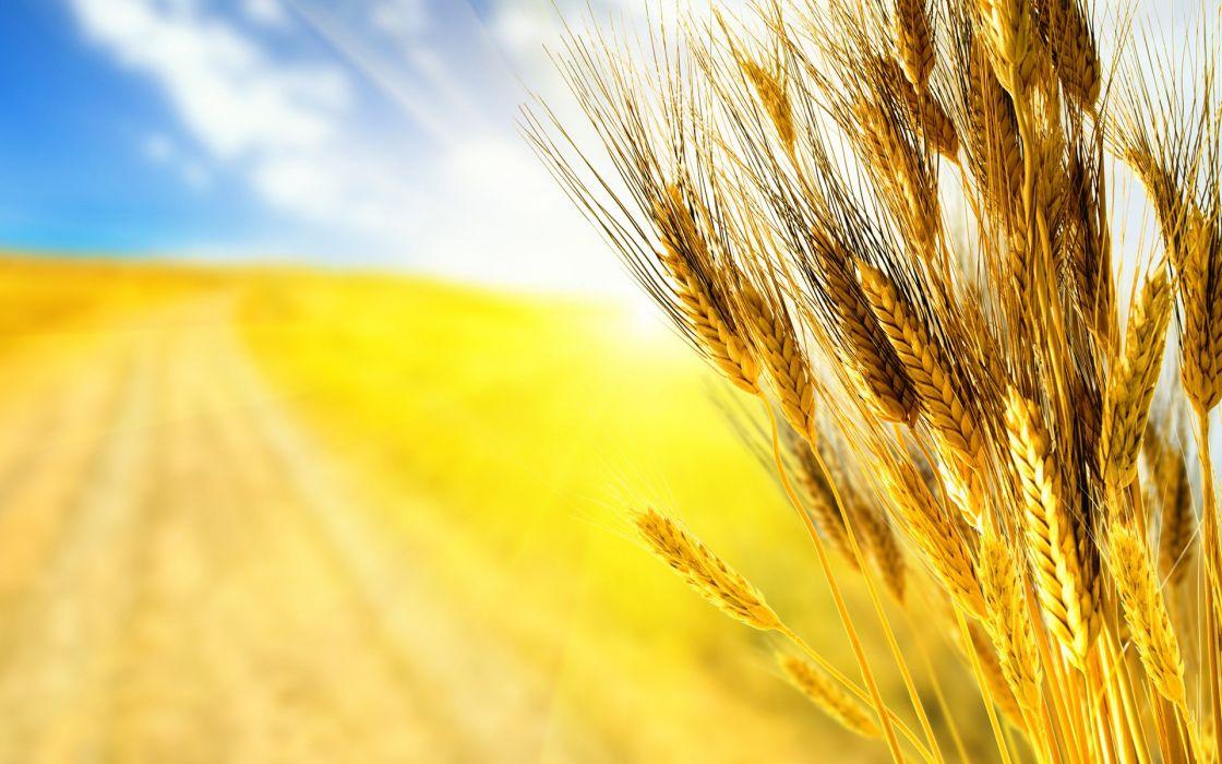Field ears ears rye wheat grass wallpaper 1920x1200 620447 1120x700