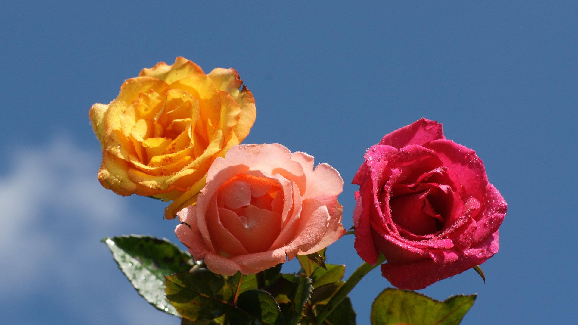 1920x1080px rose screensavers wallpaper wallpapersafari - Rose screensaver ...