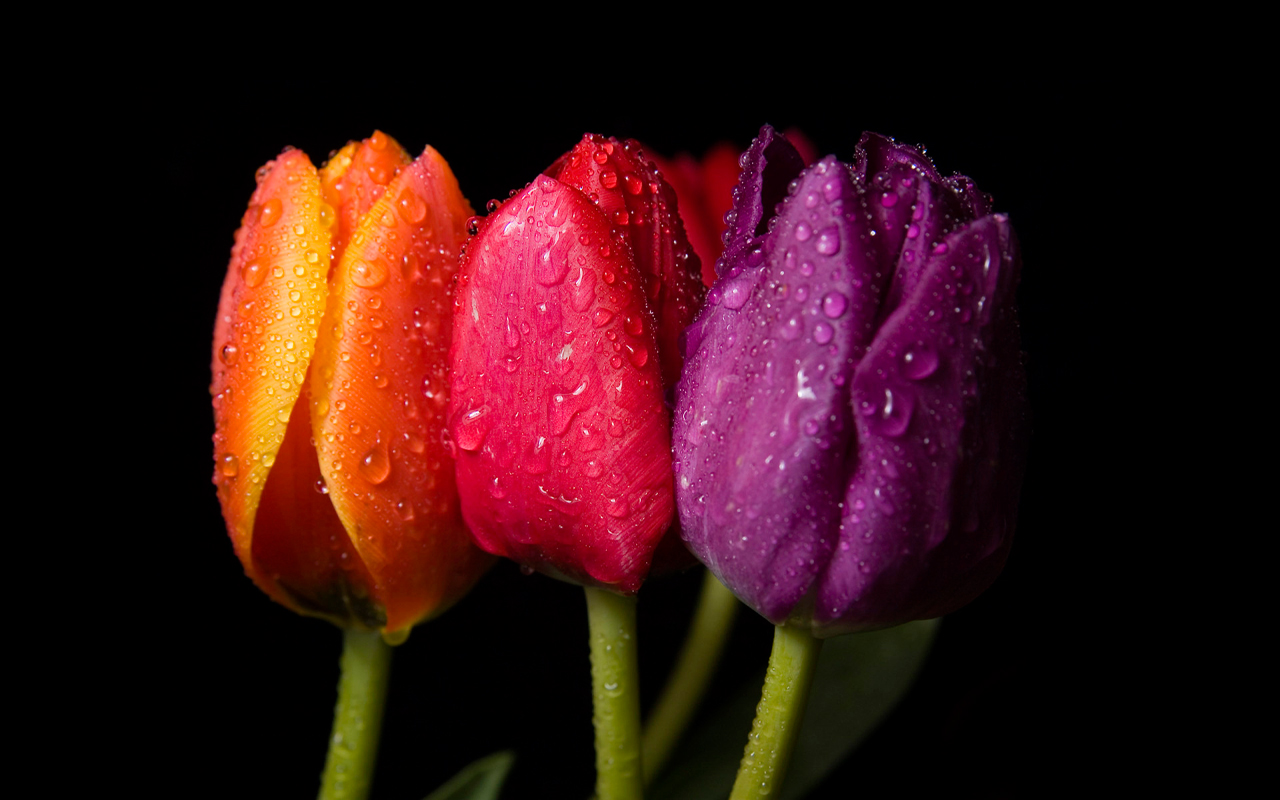 Spring flowers on black background beautiful wallpaper download 1280x800