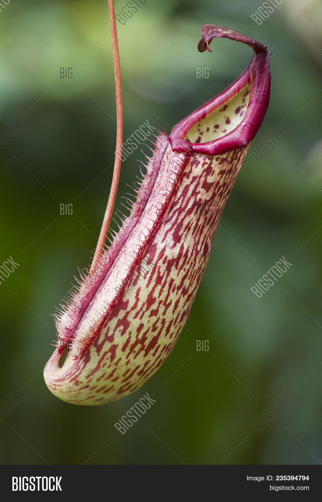 Nepenthes Tropical Image Photo Trial Bigstock 1039x1620