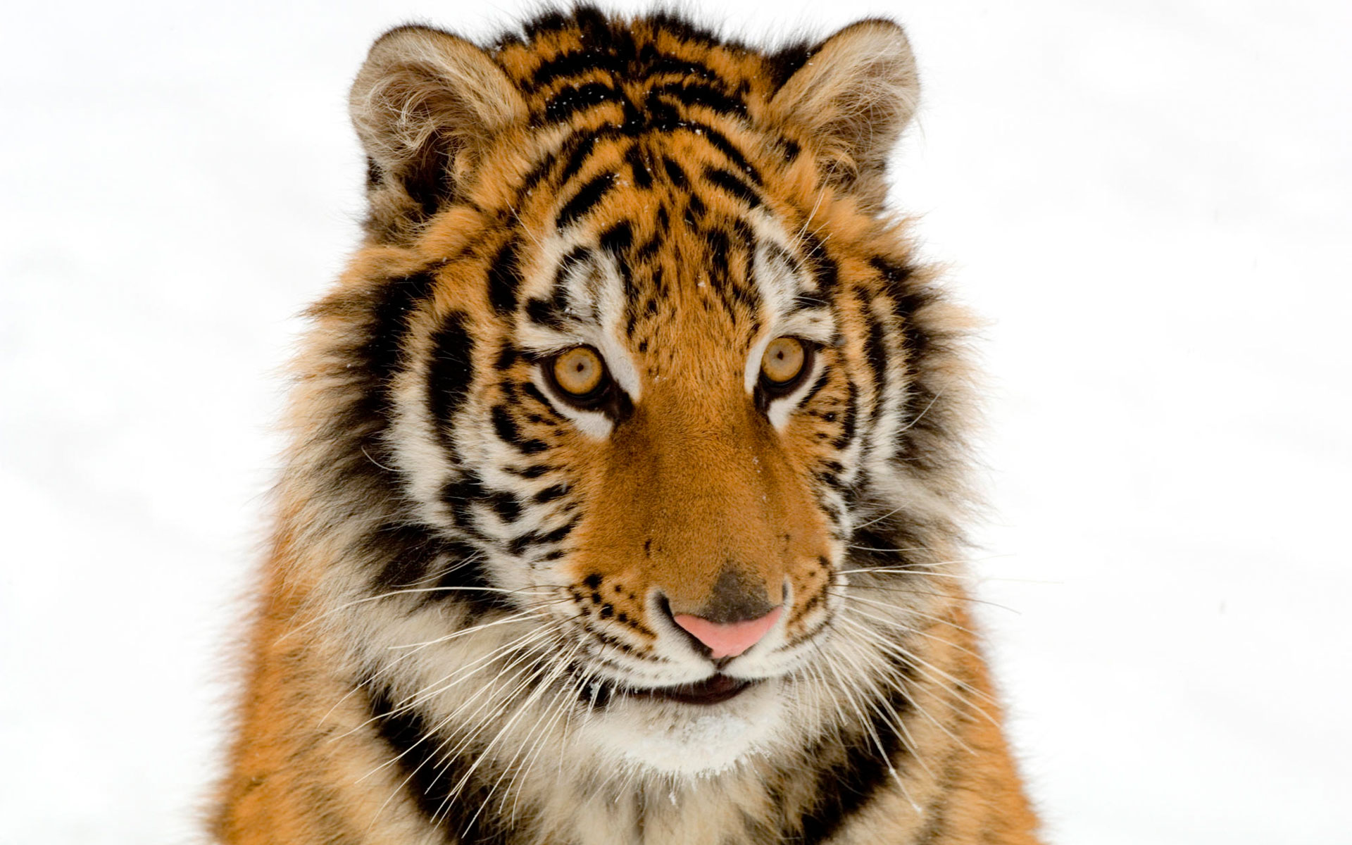 Portrait of a Tiger Wallpapers HD Wallpapers 1920x1200