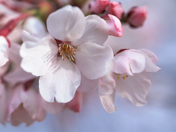 Japanese Cherry Blossom wallpapers GA033 700x525