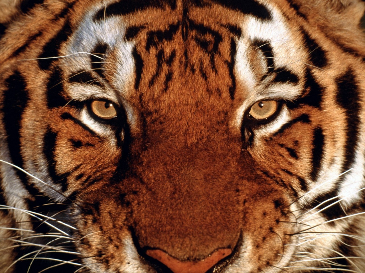1280x960 Tiger Portrait Desktop Pc And Mac Wallpaper Pictures 1280x960