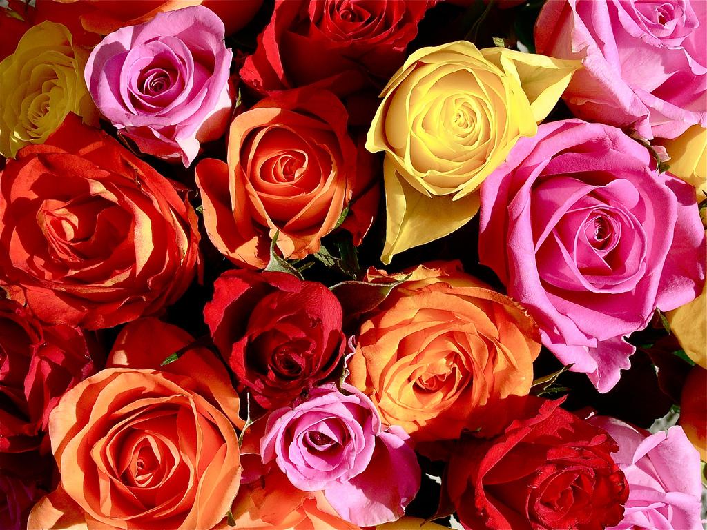 color roses wallpaper hd wallpapersafari