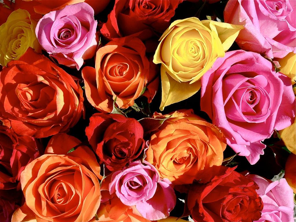all color ful rose download