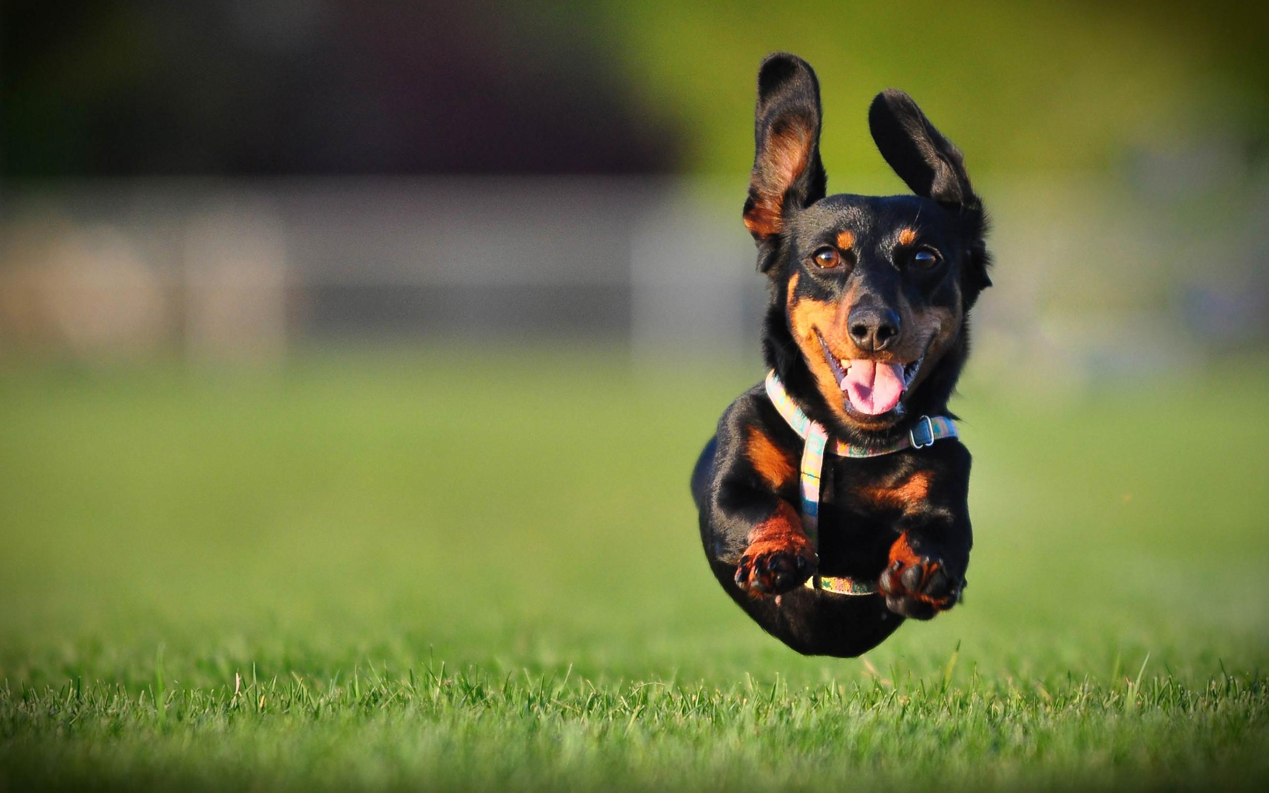 Weiner Dog Wallpaper 58 images 2560x1600