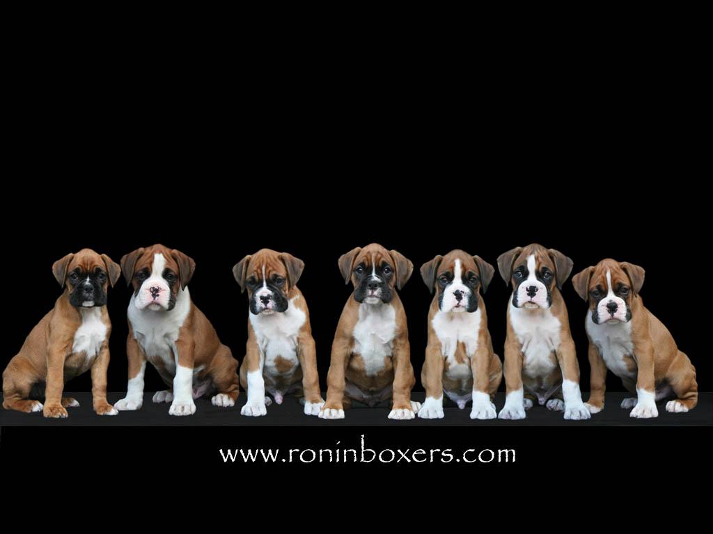 75+] Boxer Dog Wallpaper on WallpaperSafari