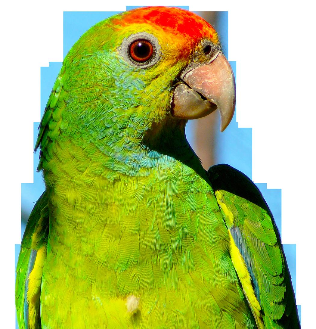 download  Parrot PNG transparent images transparent backgrounds 1050x1093