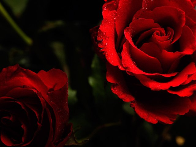 red roses on a dark background wallpapers and images   wallpapers 640x480