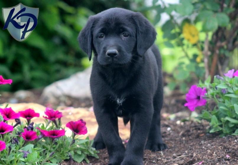 Labrador Retriever Black Puppies For Sale Keystone 806x560