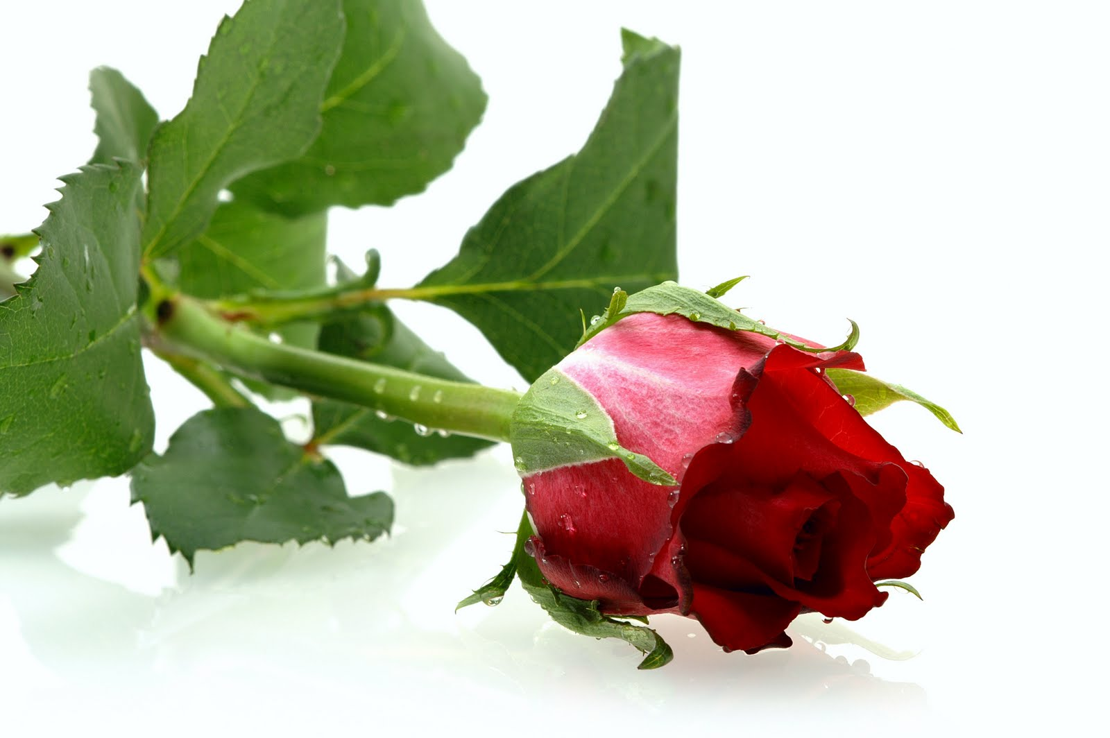 single red rose wallpaper wallpapersafari