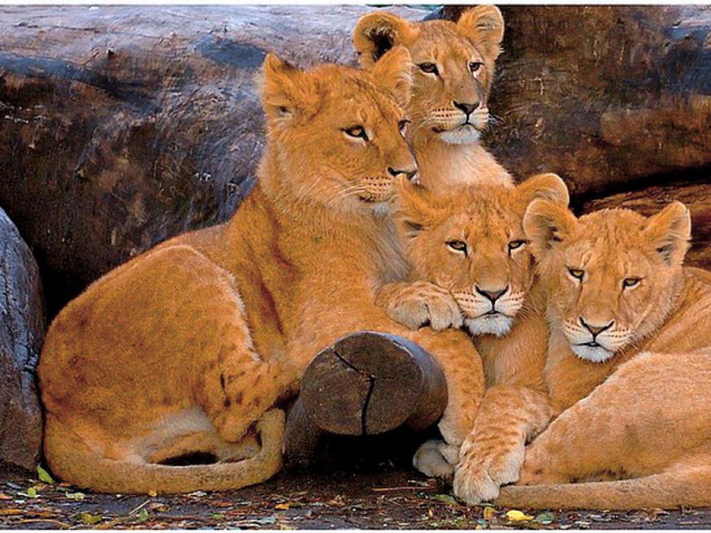 HD Lion Cubs Wallpaper 1024x768