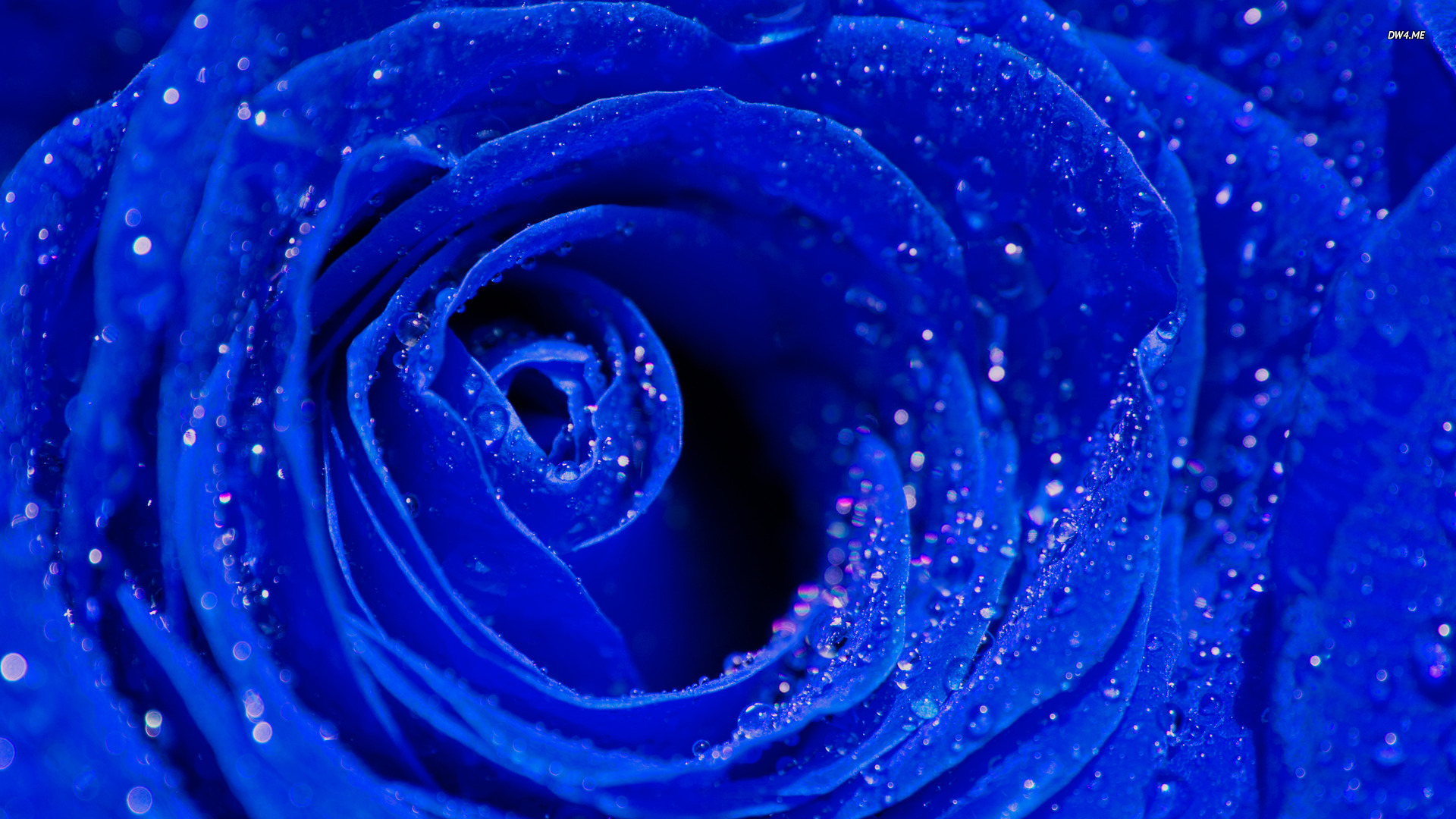 Blue Roses Background   Wallpaper High Definition High Quality 1920x1080
