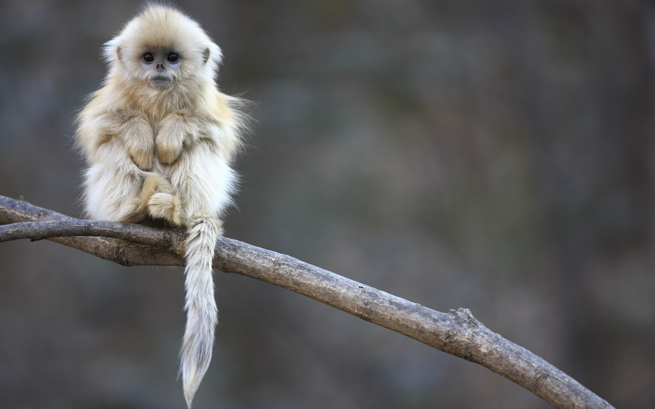 Snub nosed monkey baby wallpaper 2560x1600 2127 WallpaperUP 2560x1600