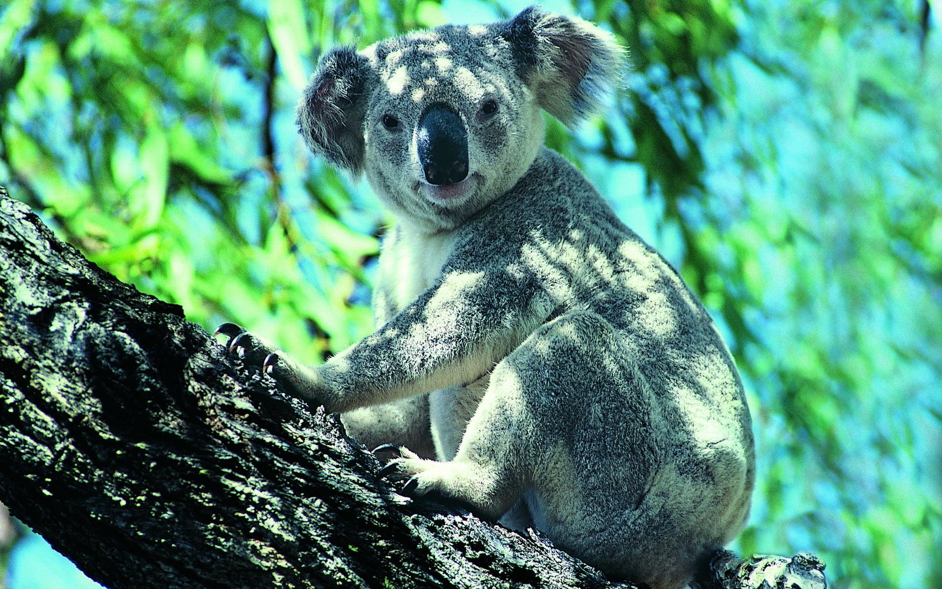 Koala HD Wallpaper | Download HD Wallpapers for Desktop