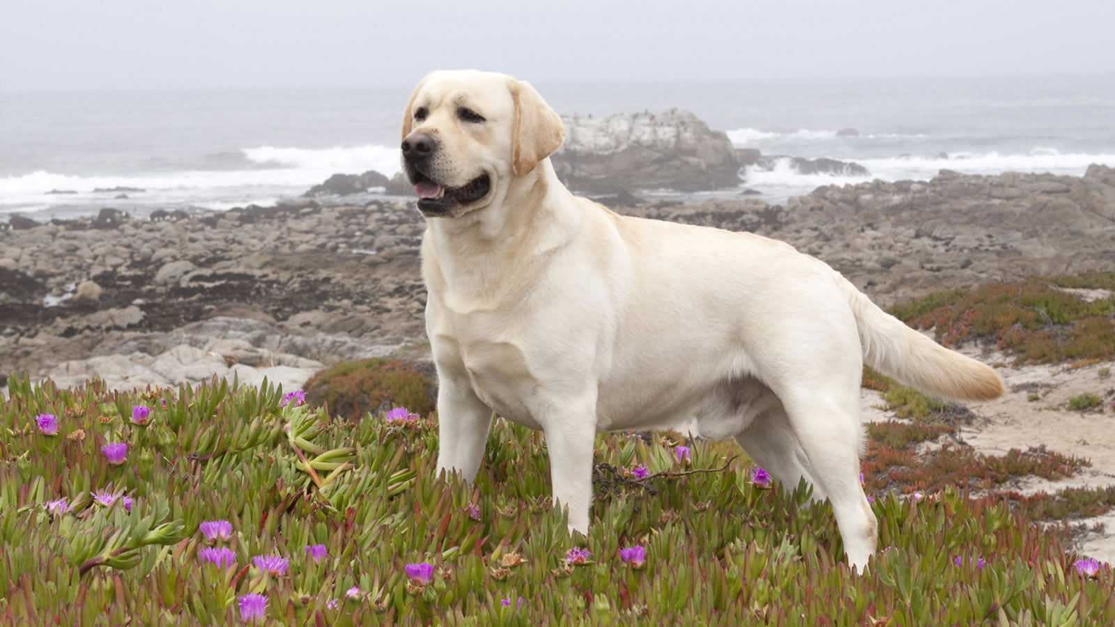 This image titled Yellow Labrador Retriever wallpaper is attached to 1600x900