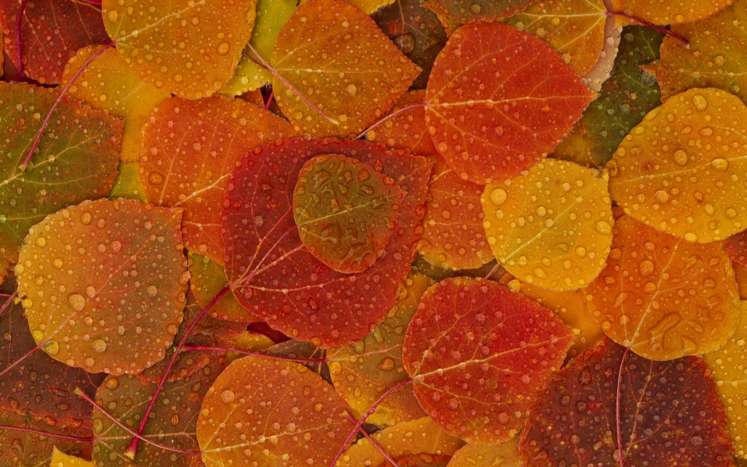 Fall Leaves HD Wallpaper 2560x1600   My Cleaning Lady 2560x1600