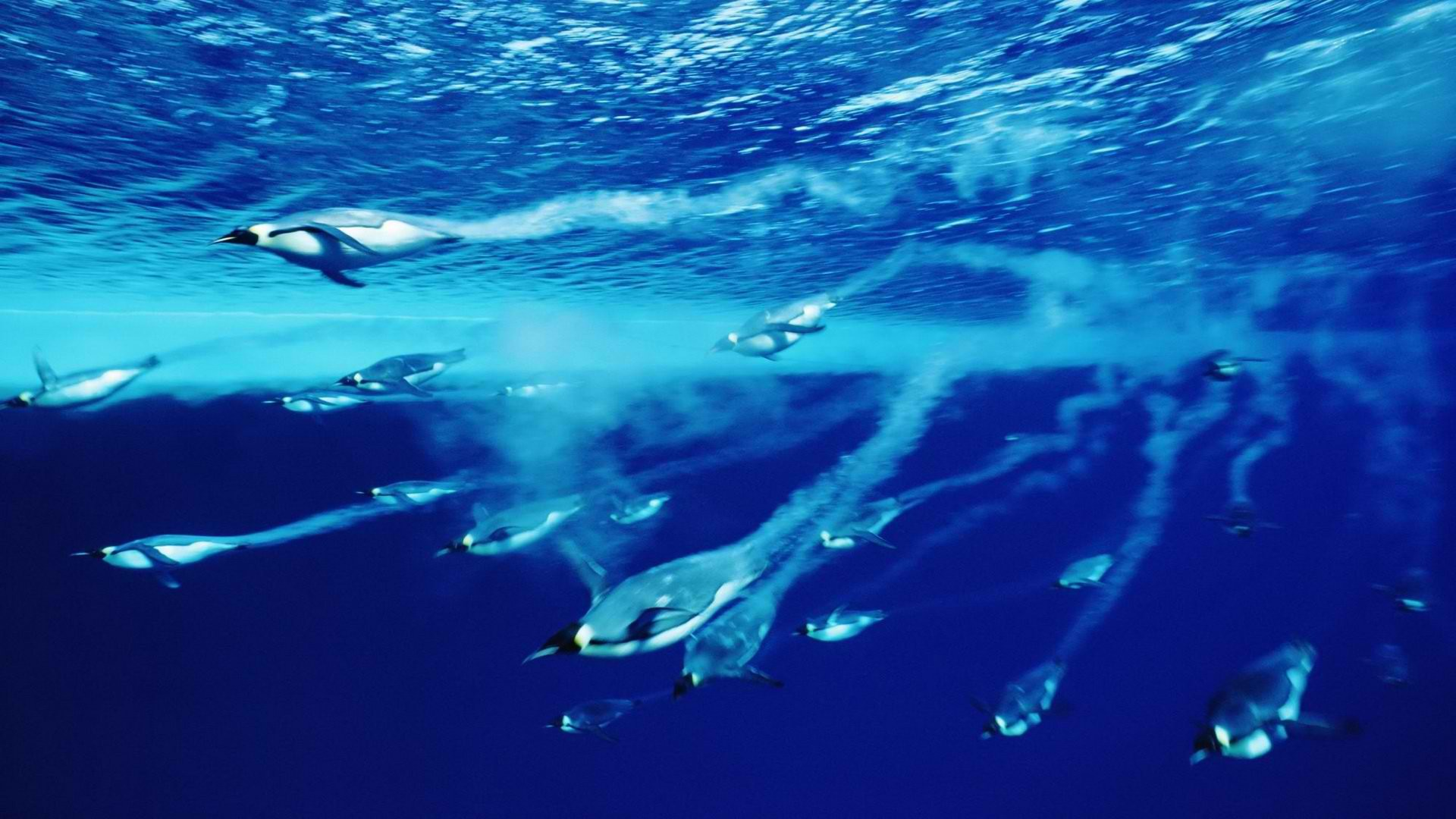 Diving Penguins Deep Blue Water Wallpaper   Wallpaper Stream 1920x1080