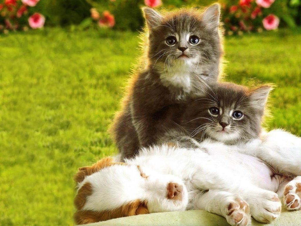 Kittens Puppies   Teddybear64 Wallpaper 16751396 1024x768