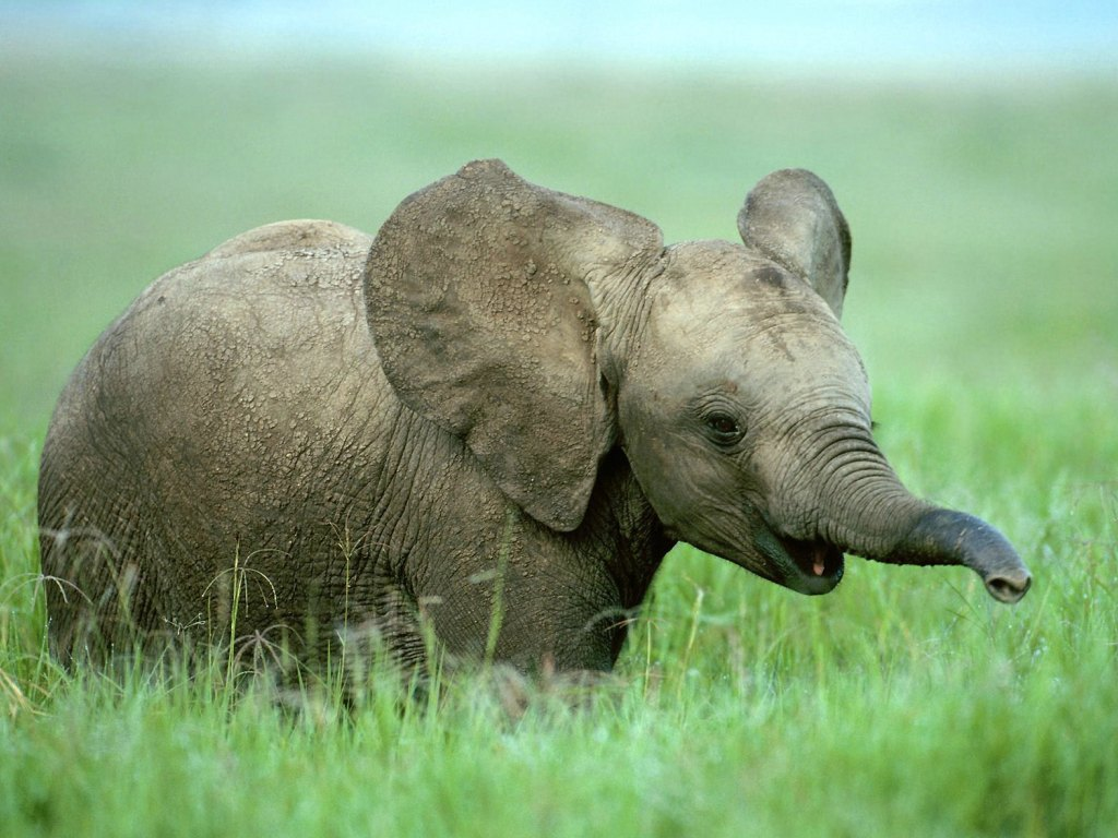 Baby Elephant   Splendid Wallpaper HD 1024x768