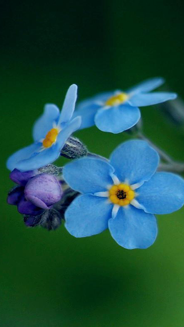 Download Spring Flower 2013 iPhone 5 HD Wallpapers HD 640x1136
