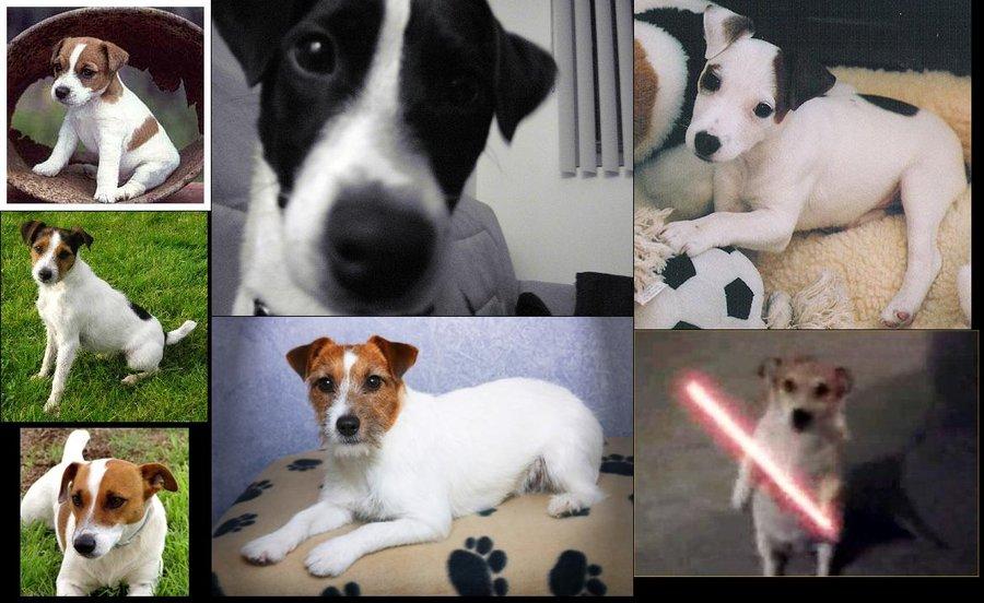 Jack Russell Terrier Wallpaper - WallpaperSafari Jack Russell Terrier Wallpaper
