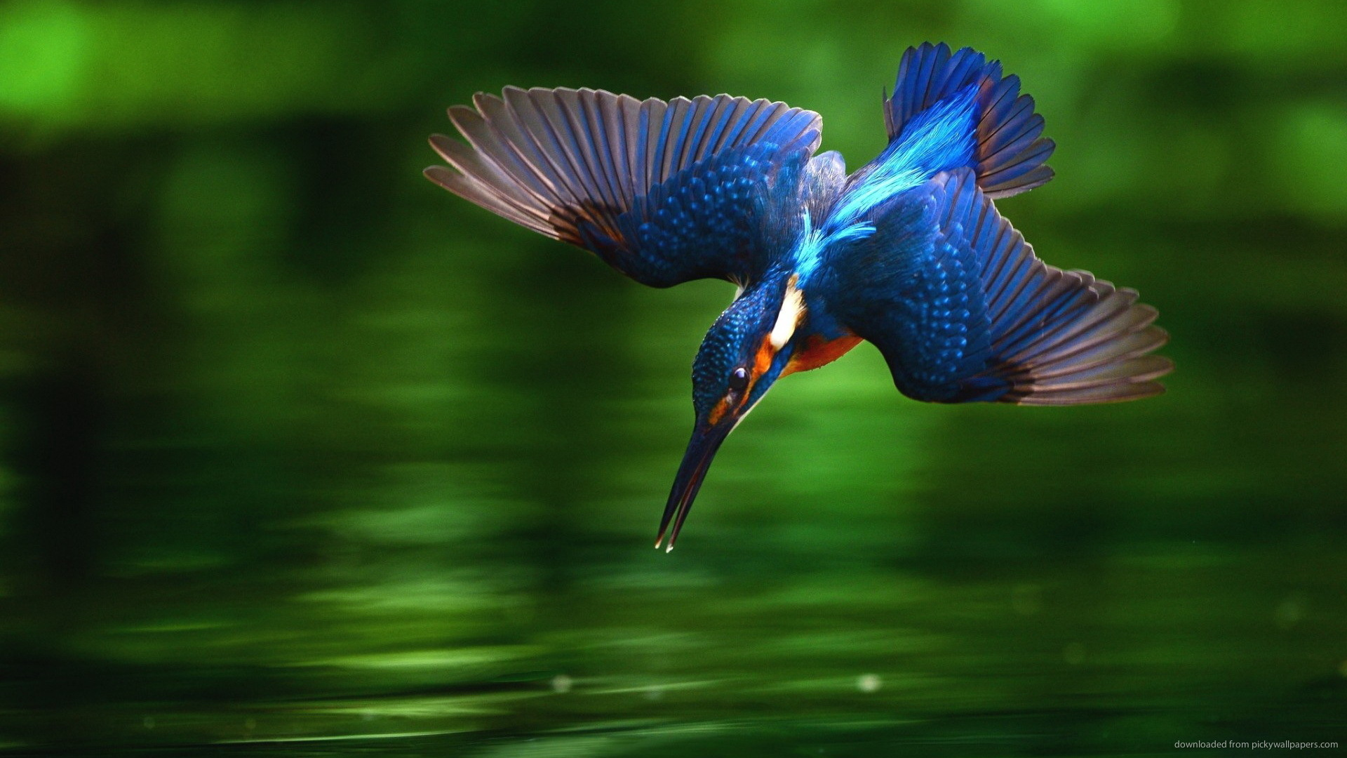 Kingfisher Bird Diving Into Water Wallpaper Picture For iPhone 1920x1080