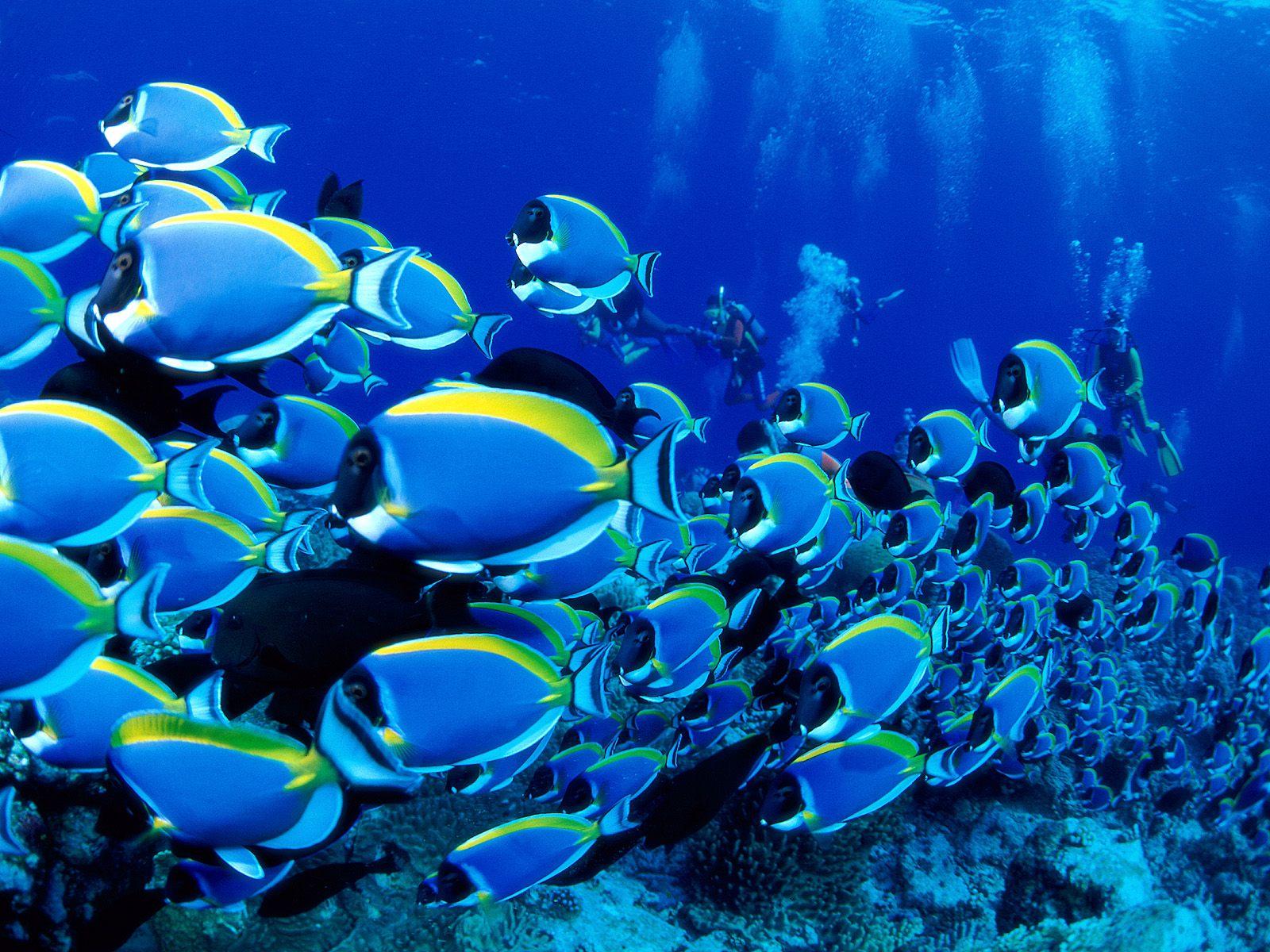 ocean underwater saltwater fish powder blue tang fish sea wallpaper 1600x1200