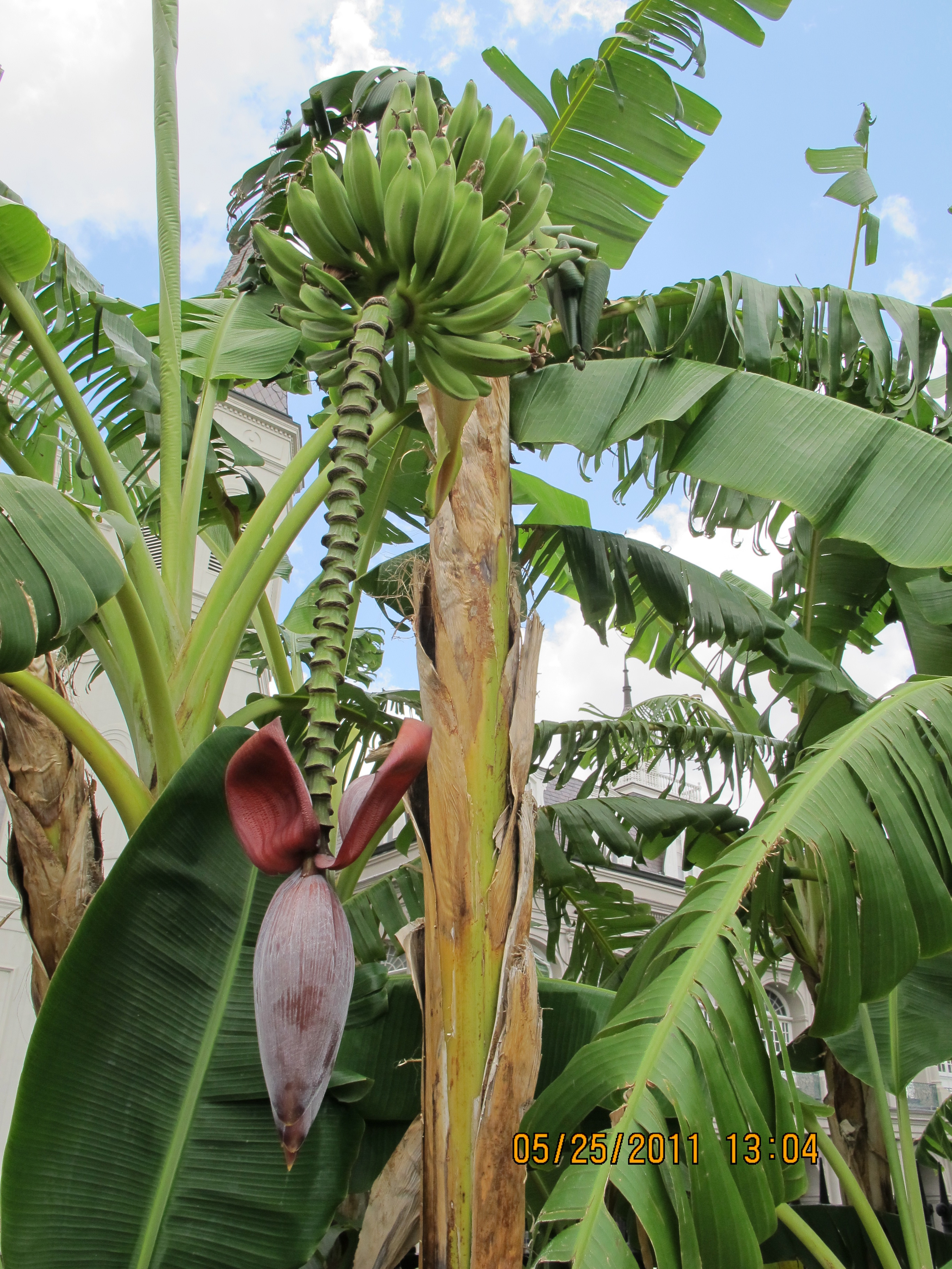 Jackson Square Banana Tree Caretaking Couple 2736x3648