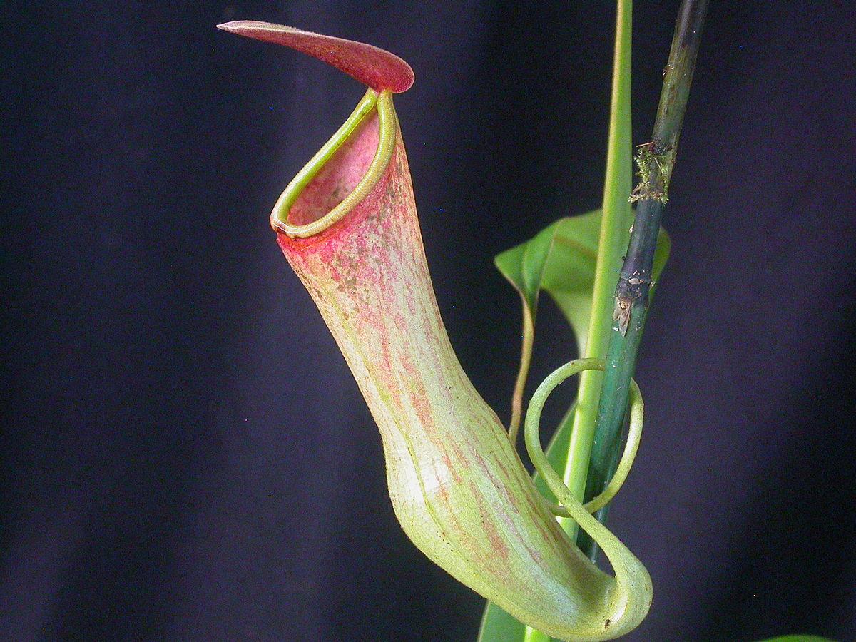 Nepenthes khasiana   Wikipedia 1200x900