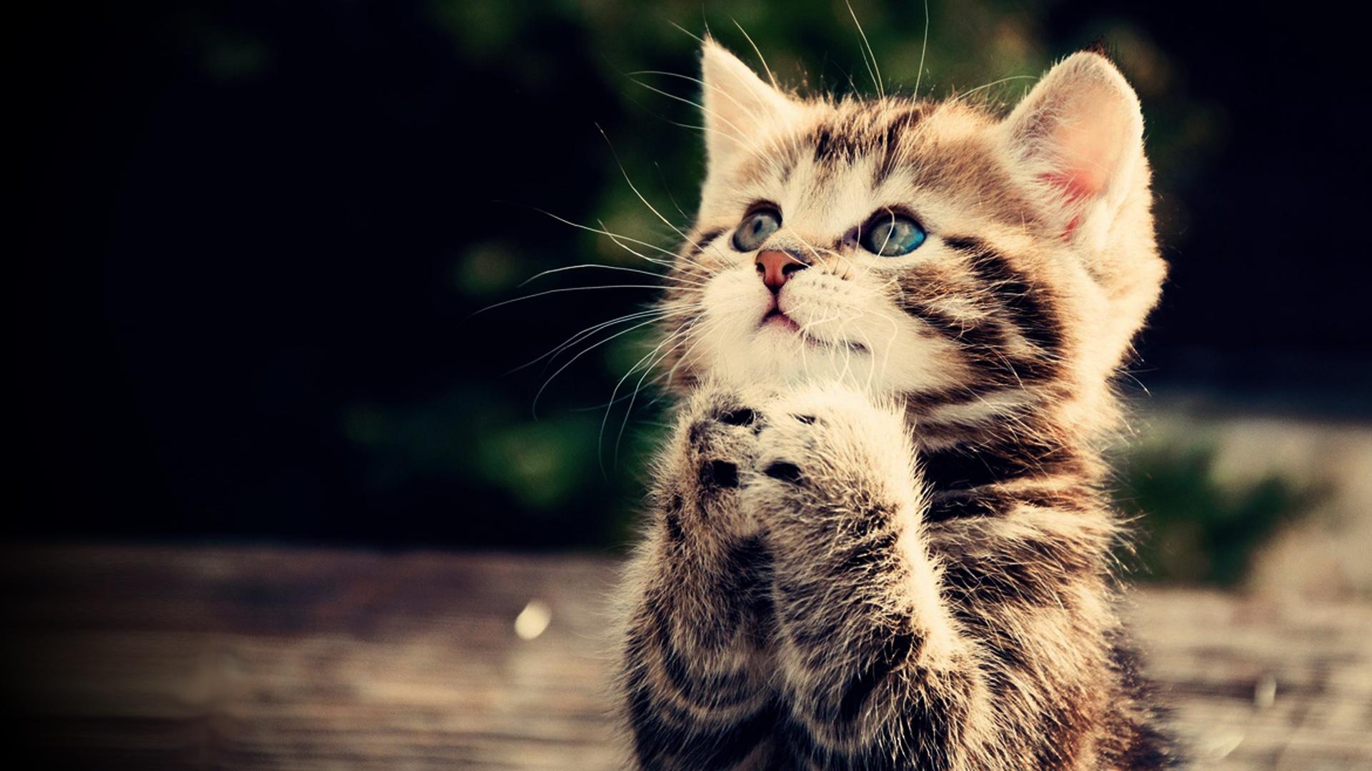 Praying kitten Full HD wallpaper cute animal picture 1080p download 1920x1080