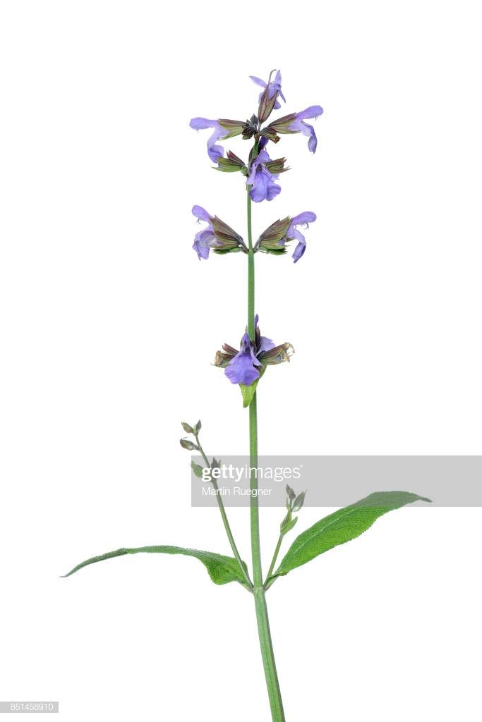 Sage Garden Sage Salvia Officinalis White Background Stock Photo 683x1024