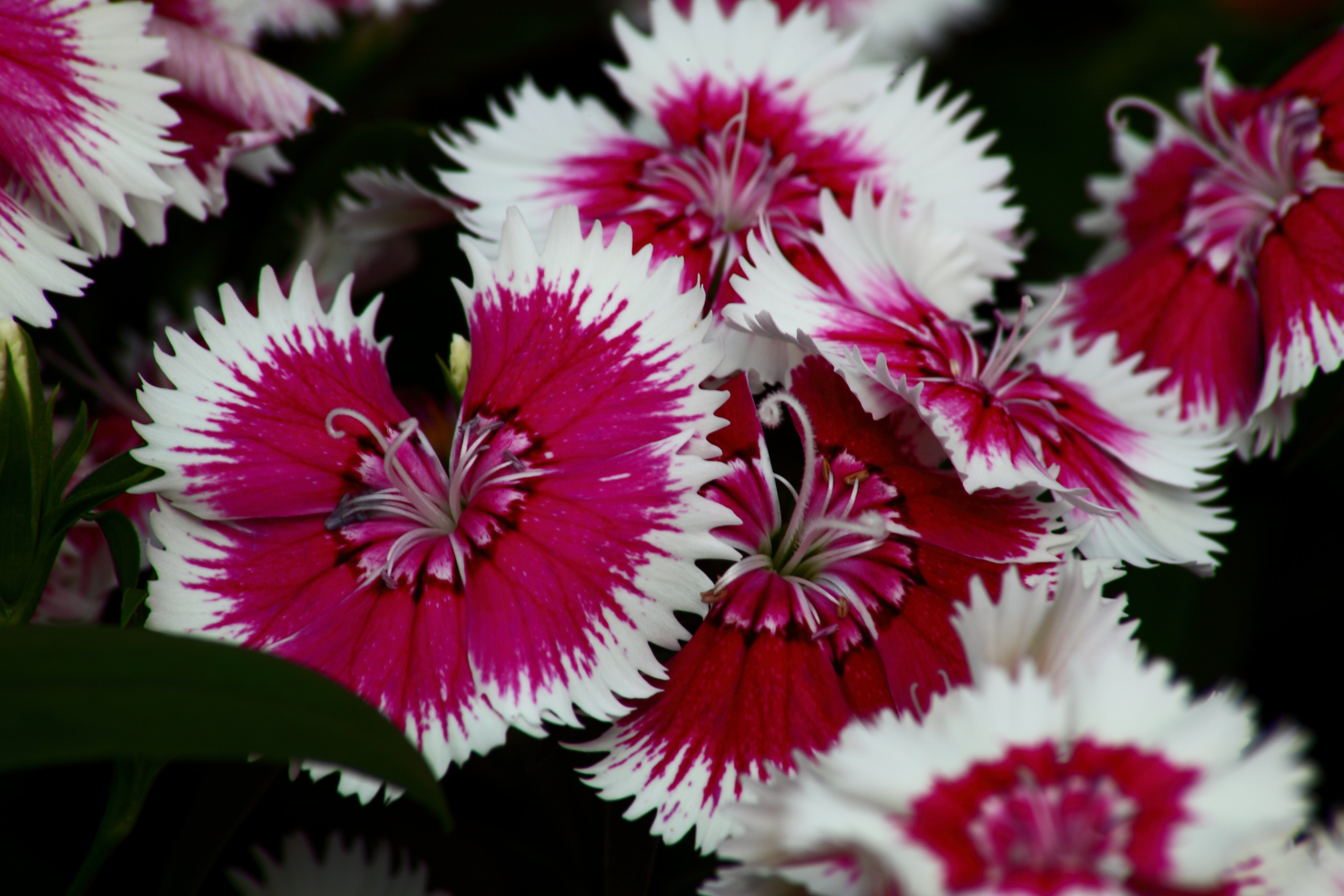 Dianthus Burning Witch Flowers Nature Pictures by 5616x3744
